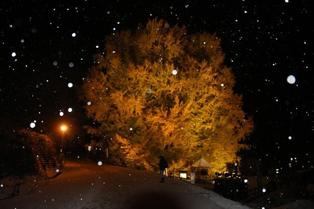 北金ヶ沢の大銀杏(ビッグイエロー)の紅葉と初雪