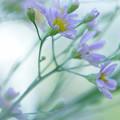 風の中の紫苑♪