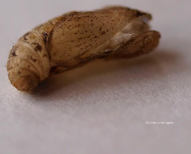 ヤマトシジミ蛹抜け殻約1cm横面。(ヤマトシジミ飼育)