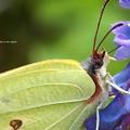 Photos: スジボソヤマキチョウ。バター色の昆虫。白い手足のチョウは可愛いと思う。