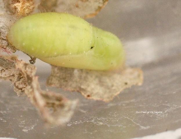 枯れたカタバミと瑞々しい蛹。(ヤマトシジミ飼育)