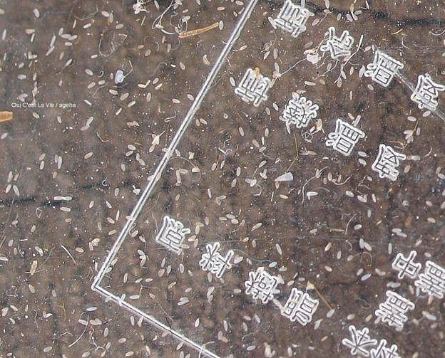 オオスカシバの鱗粉は粉というより顆粒。(オオスカシバ飼育)