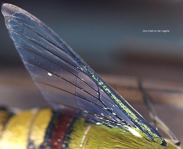 羽化後。まだ鱗粉の残る翅。(オオスカシバ飼育)