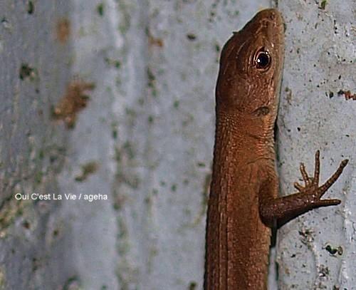 蜥蜴の目は夜の猫に似ている。。