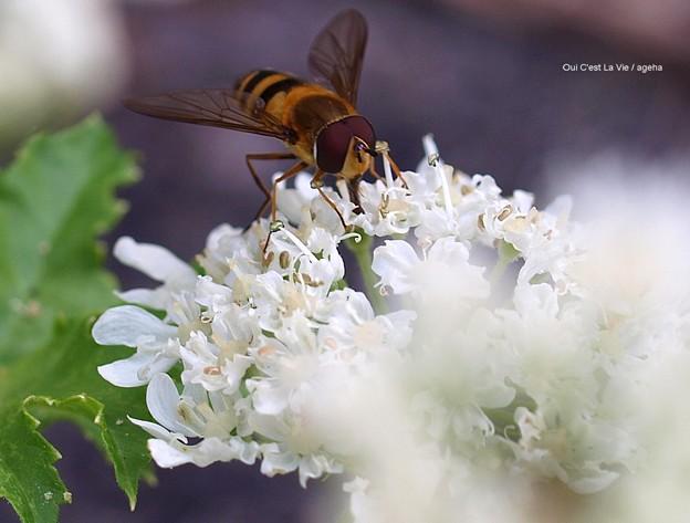 蜜蜂かと思ったら花アブだった。
