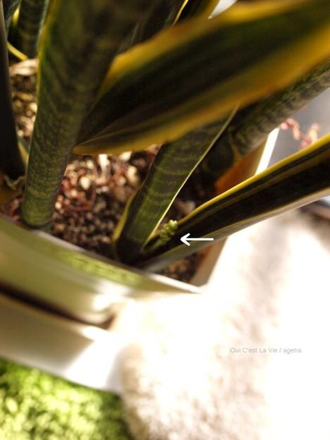 サンセベリアの花。まだ出始め。なぜか後ろにヒメツルソバもしくはポリゴナム。(Sansevieria trifasciata)