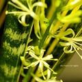 写真: 夜開花。(サイセベリア開花)