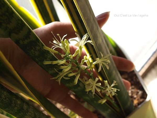 案外小さい手のひらサイズ。(サイセベリア開花)