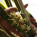 写真: 案外小さい手のひらサイズ。(サイセベリア開花)