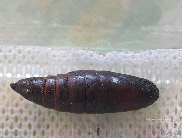 越冬ガガ蛹。背筋伸びる。(オオスカシバ飼育)