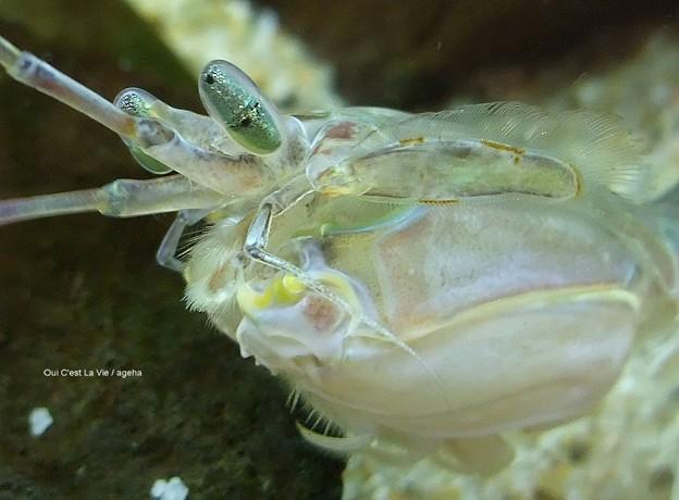 見れば見るほど不思議な生物。(シャコat足立区生物園2013年3月)