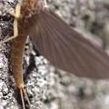 Photos: 桜開花カゲロウ亜成虫は黒い翅。(2013年3月18日mon)