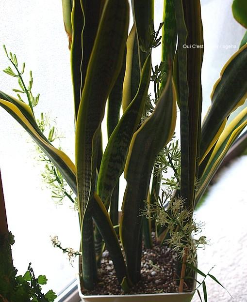 写真: サンスベリア二度目の開花。(2013年7月1日)