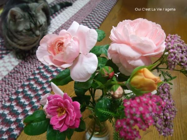 バラとノコギリソウ。(バラ栽培)