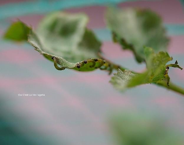 チュウレンジバチ1齢幼虫整列。(バラ害虫)