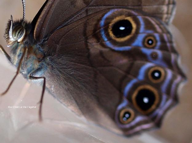 ブルーがとっても綺麗。(クロヒカゲ来訪)