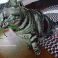 セセリの天敵は猫かもしれぬ。(セセリチョウ卵)