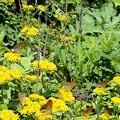 黄色い花が好き。(ヒョウモンチョウ吸蜜キリンソウ)