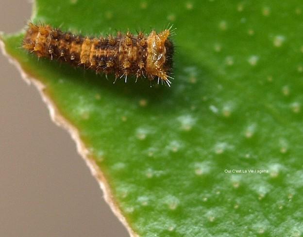 2齢への脱皮直前1齢幼虫。(ナミアゲハ幼虫)