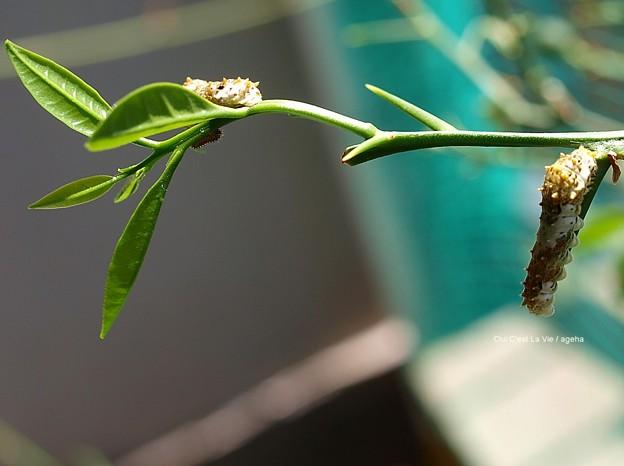 4齢幼虫と…1齢もこっそりいた!(ナミアゲハ幼虫)