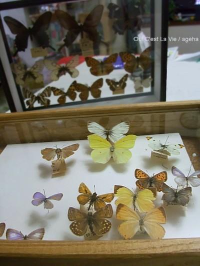 1960年代からの宝石たち。(蝶標本)