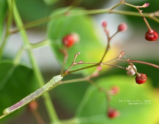 赤い実を食べて赤腹になる蛾の幼虫。