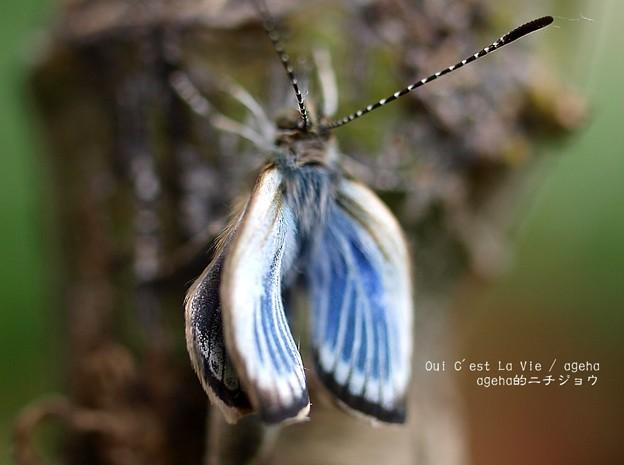 翅を静かに乾かします。(ヤマトシジミ飼育 羽化)