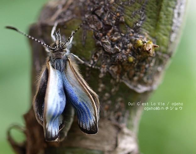 翅が伸びてきました。(ヤマトシジミ飼育 羽化)
