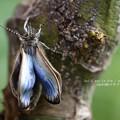 Photos: 翅が伸びてきました。(ヤマトシジミ飼育 羽化)