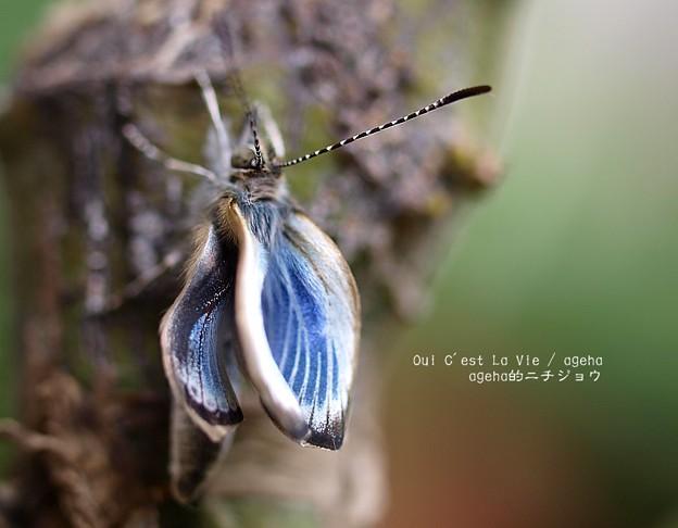翅を伸ばしてます。(ヤマトシジミ飼育 羽化)