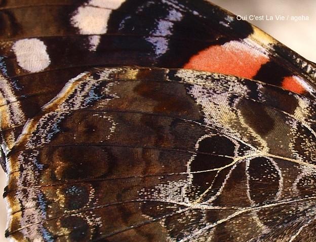 幻想的な翅が素敵。(アカタテハat信州)