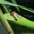 Photos: と、思いますよ。(イチモンジセセリ幼虫 飼育)