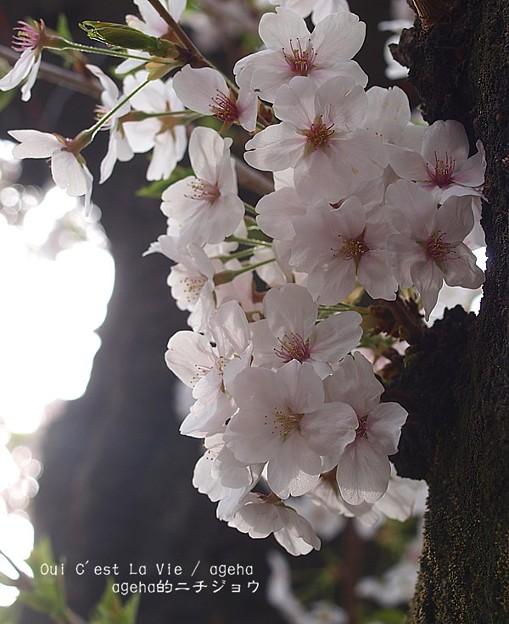 満開だった桜も