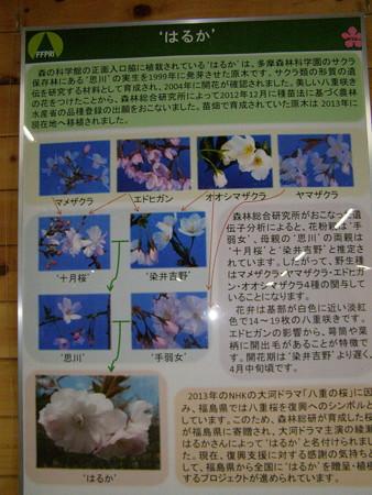 桜の自生種は