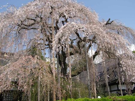 慈雲寺樹齢300年
