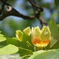 写真: ユリノキの花満開