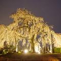 写真: 宇治桜