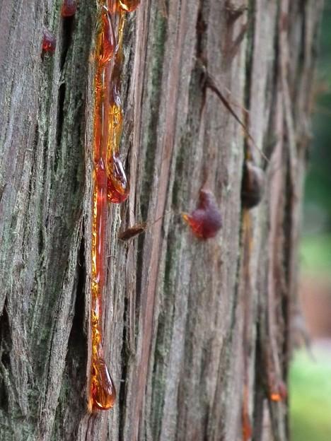 杉の木から赤い汗