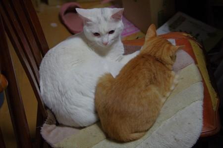 シロちゃんとトラちゃんの雌同士