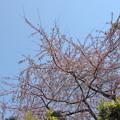 京都も開花宣言されました