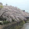 天神川の桜 2013