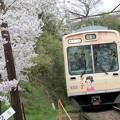 3年目桜のトンネル