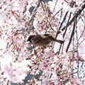 枝垂れ桜とスズメ