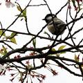 散った桜とシジュウカラ