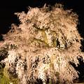 円山公園 「一重白彼岸枝垂桜」