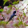 桜瑠璃(おうるり)