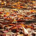 Photos: 落ち葉、咲き乱れ!