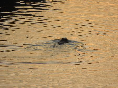 ヌートリアの夕泳