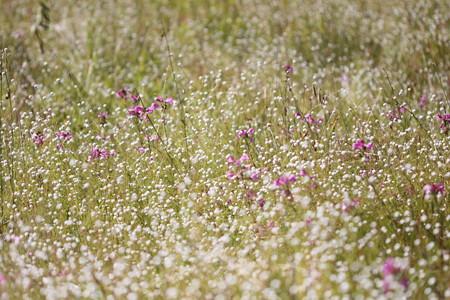 矢並湿地:シラタマホシクサとミカワシオガマ