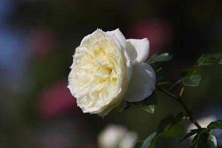 薔薇の気品